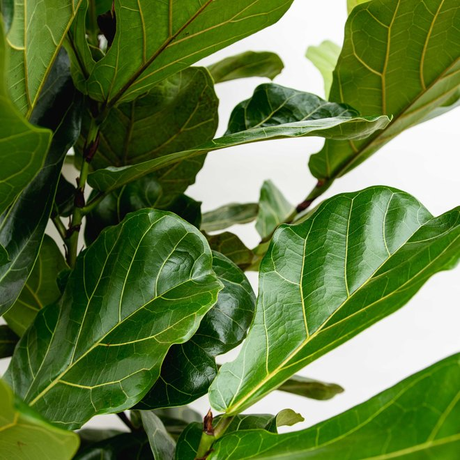 Ficus Lyrata bush XL