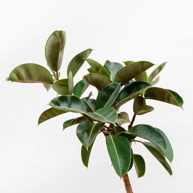 Ficus Elastica Robusta - 130 cm