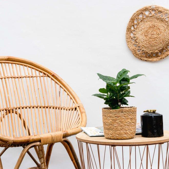 Coffee plant - 15cm
