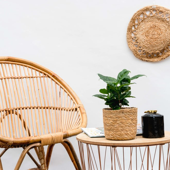 Kaffeepflanze - 15cm