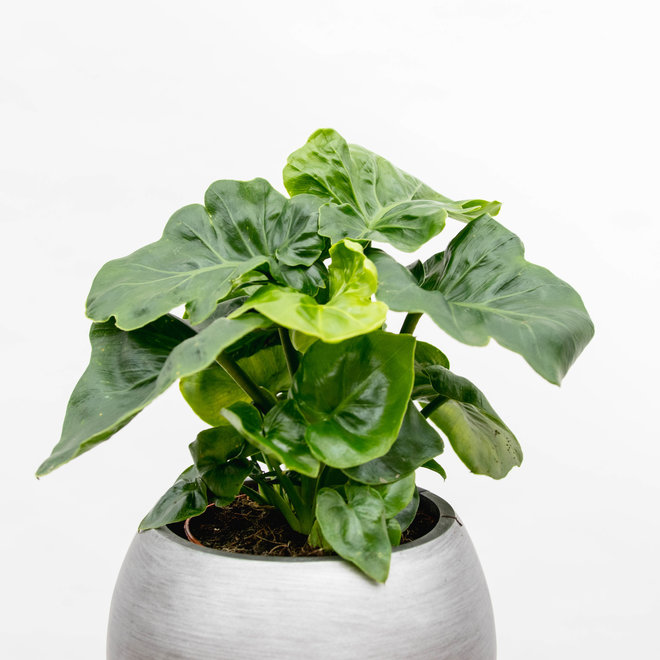 Philodendron Atom - 30cm