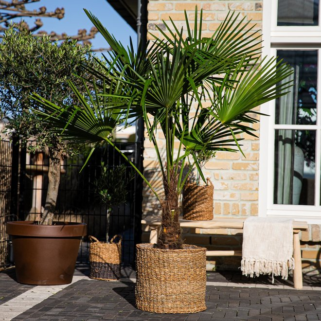 Trachycarpus Fortunei  - 140 cm
