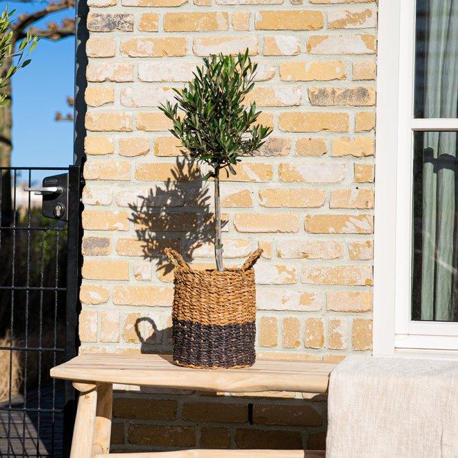 Olea Europaea olijfboom - 80cm