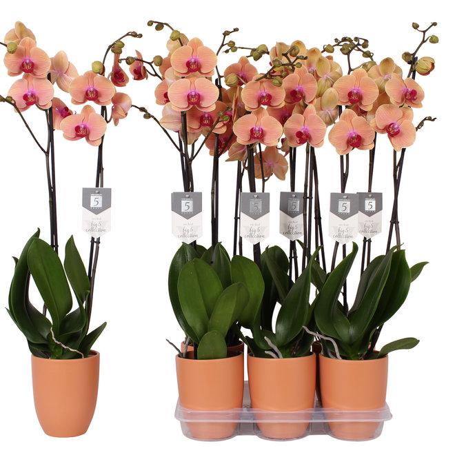 Caribbean Dream orchidee (Phalaenopsis) - 70cm