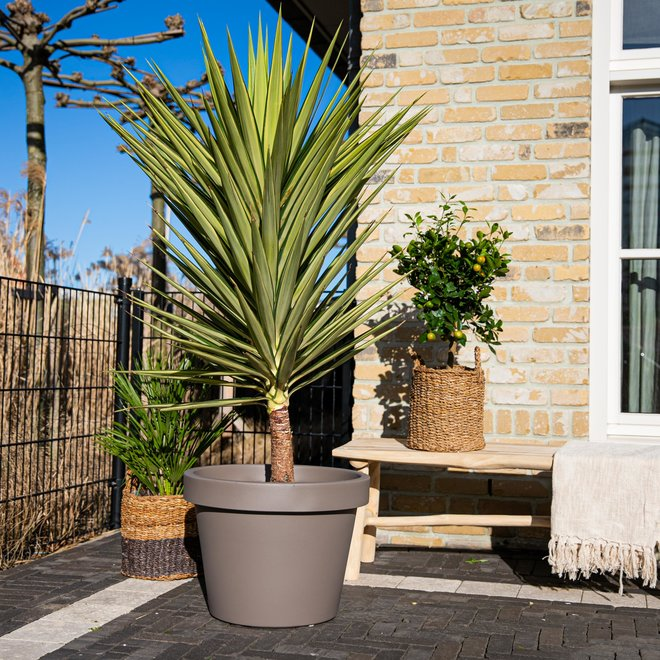 Green Bubble Yucca Jewel - 175cm