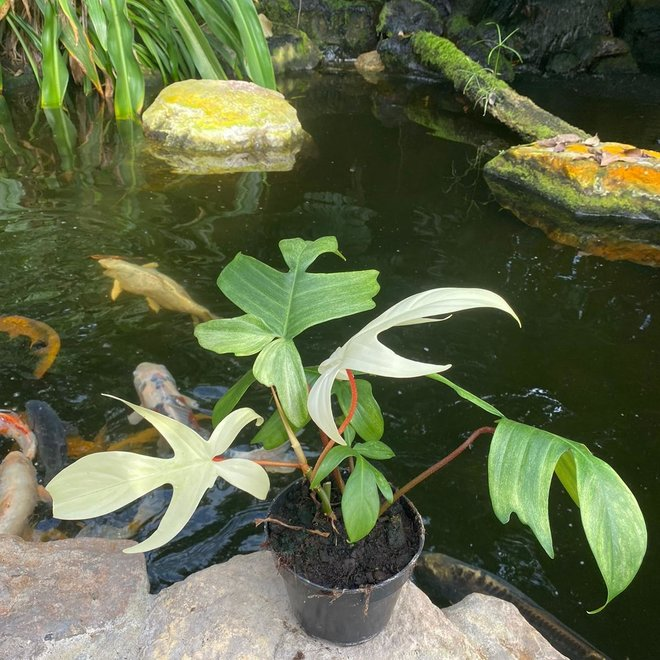 Philodendron Florida Ghost - 30 cm (2)