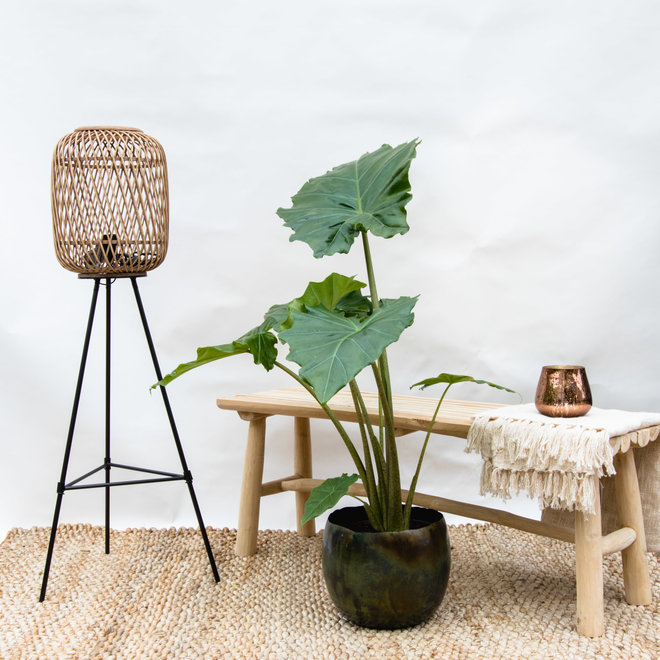 Green Bubble Alocasia  - 120cm