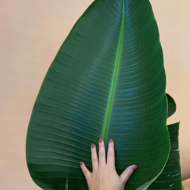 Strelitzia Augusta - 180cm