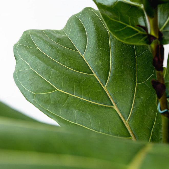 Ficus Lyrata struik XL - 150 cm