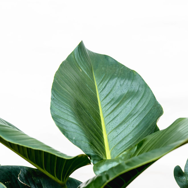 Philondendron Green Beauty -130cm