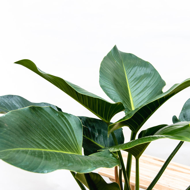 Philodendron Green Beauty - 130cm