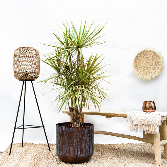 Yucca Bicolour  - 150cm