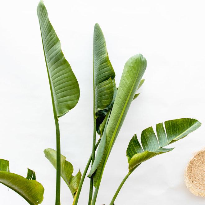 Strelitzia Augusta multi stam - 200cm