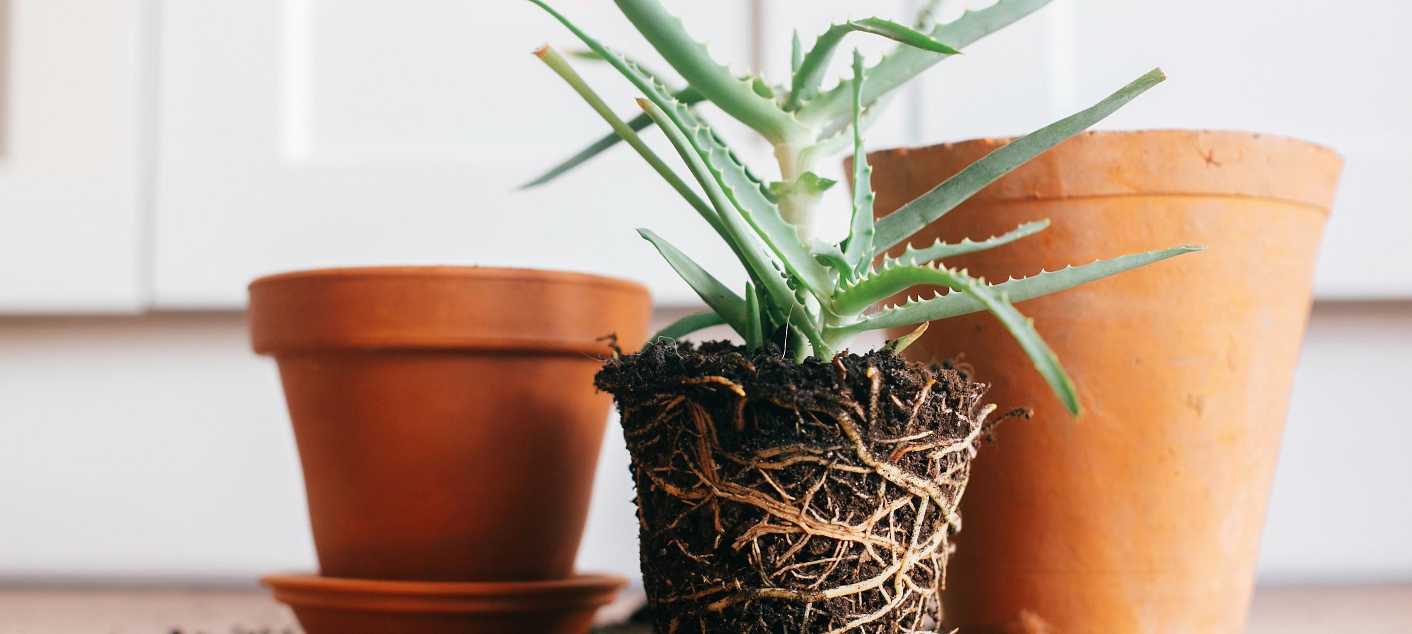 Hoe verpot ik een plant?