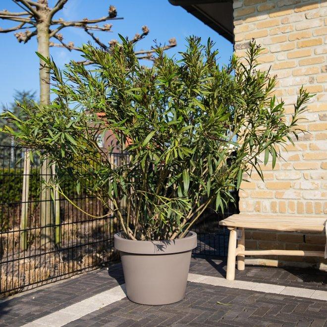 Nerium Oleander - 170cm