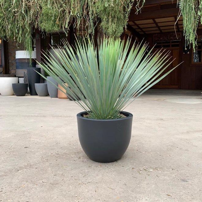Combi deal - Yucca Rostrata inclusief Eggy pot wit  - 70 cm