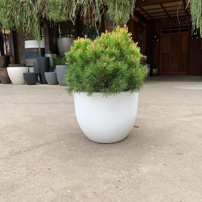 Combi deal - Pinus Mugo 'Mops' inclusief Eggy pot wit - 60cm
