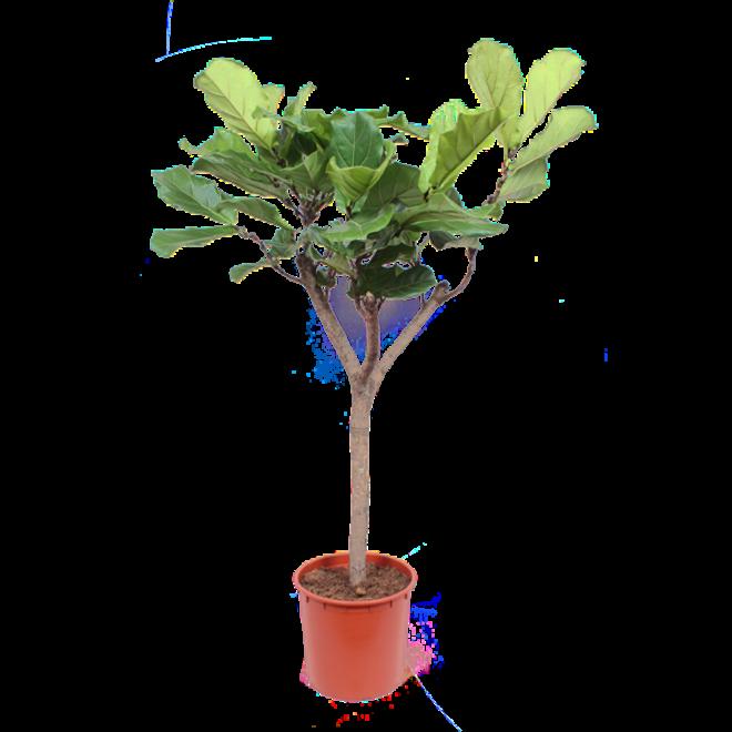 Combi deal - Ficus Lyrata tree XL including basket jacket - 180cm