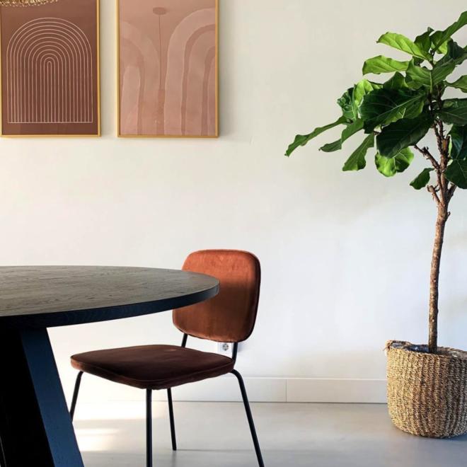 Combi deal - Ficus Lyrata boom XL inclusief mand jack - 170 cm
