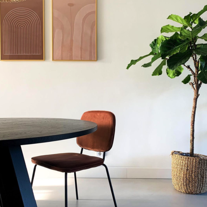 Kombi-Deal - Ficus Lyrata Baum XL inklusive Korbjacke - 170 cm