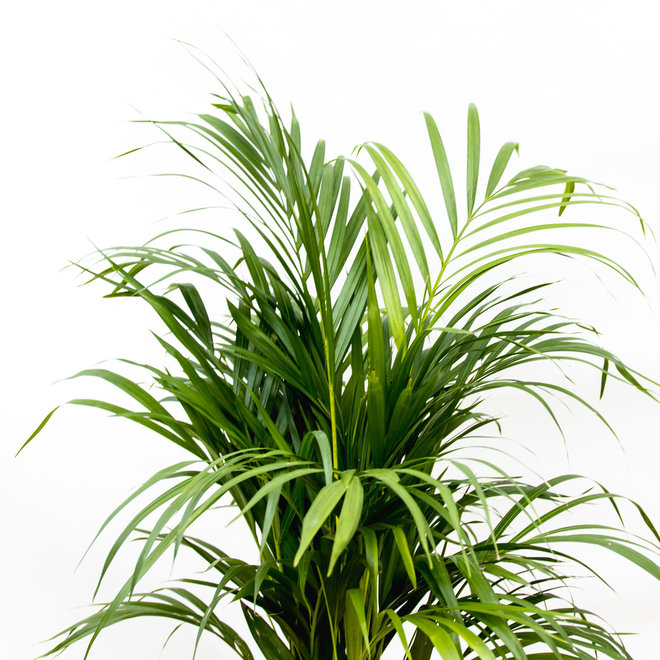 Kombi-Deal - Areca-Palme inklusive Ellen Vintage-Grün - 140 cm