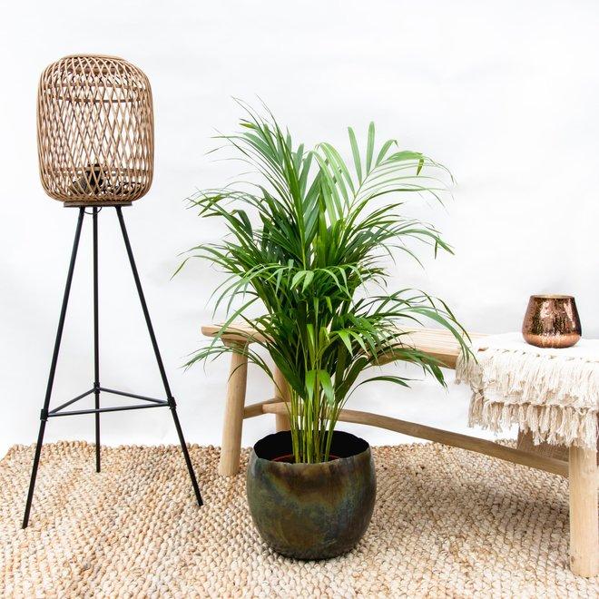 Combi deal - Areca palm including Ellen vintage green - 140 cm