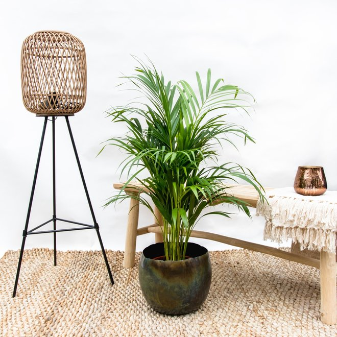 Combi deal - Areca palm inclusief Ellen vintage green - 140 cm