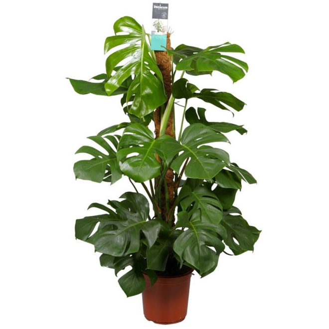 Combi deal - Monstera Pertusum XL inclusief mand jack - 120 cm