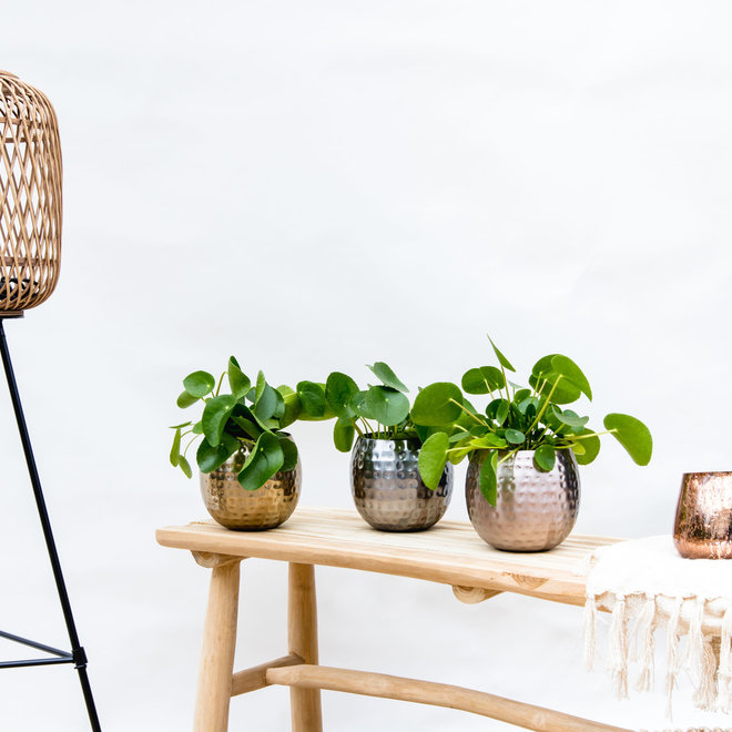 Combi deal - 3x Pannenkoekenplant inclusief kody potten