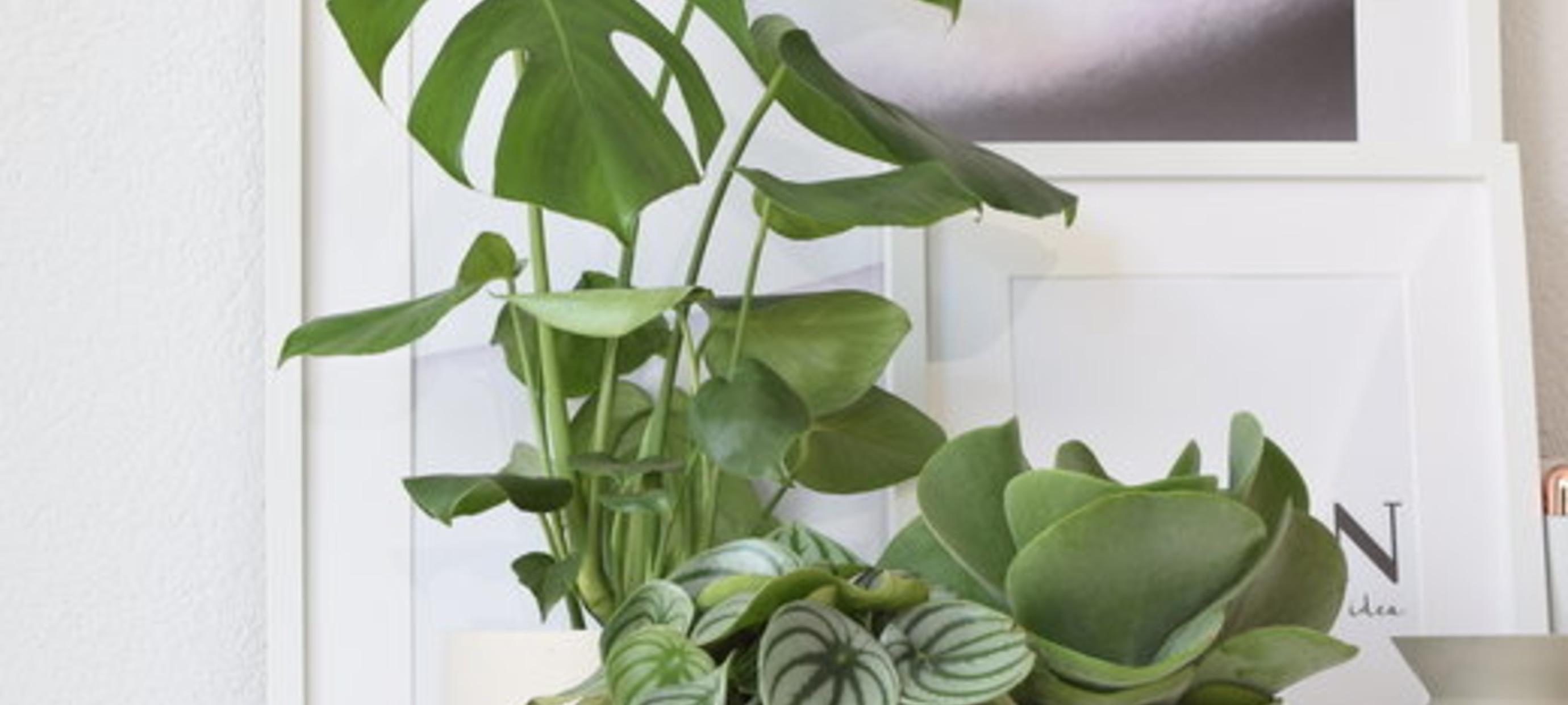 Hoe stek ik mijn Monstera kamerplant?