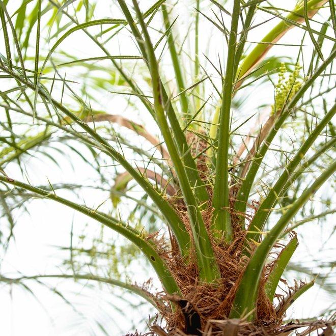 Phoenix roebelenii op stam - 200 cm