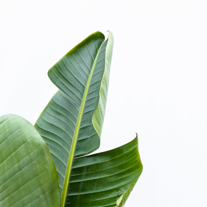 Combi deal- Strelitzia Nicolai 180cm,  Areca Palm 110cm , Alocasia Zebrina 90cm