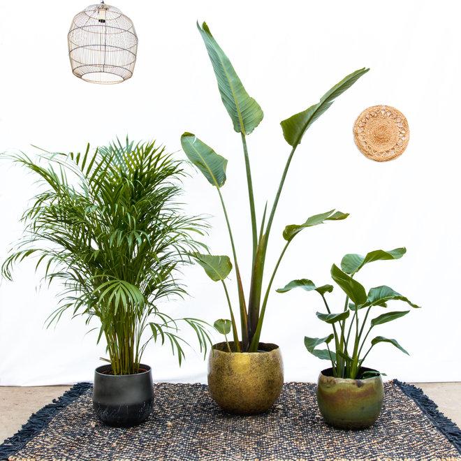 Combi deal -Strelitzia Augusta 170cm - Areca palm 140cm - Strelitzia Nicolai 90cm