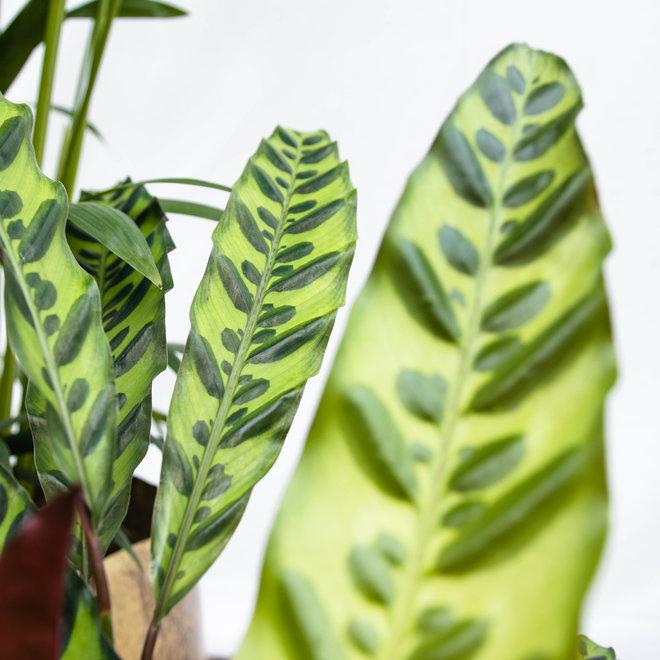Combi deal  - Kentia 170 - Monstera mosstok 120 - Calathea insignis 60