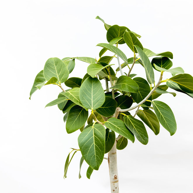 Ficus Benghalensis Audrey - 110cm