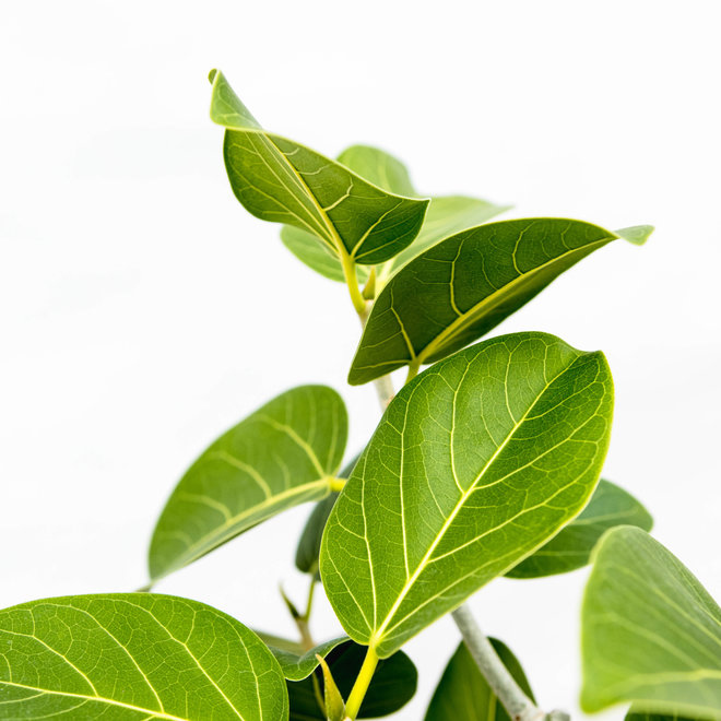 Ficus Benghalensis Audrey - 130cm
