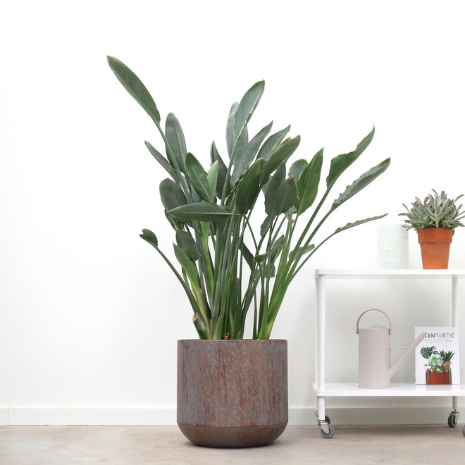 Strelitzia Reginea - 130cm