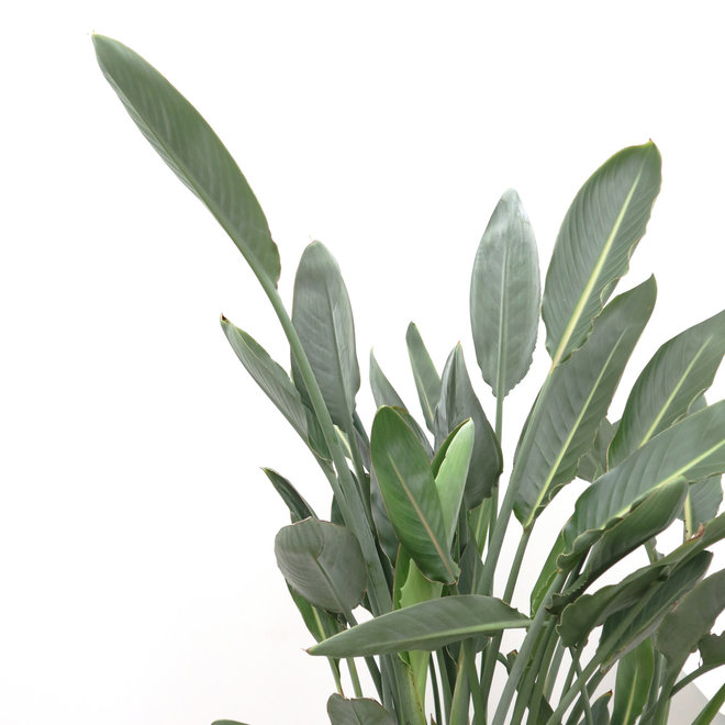 Strelitzia Reginea - 130 cm