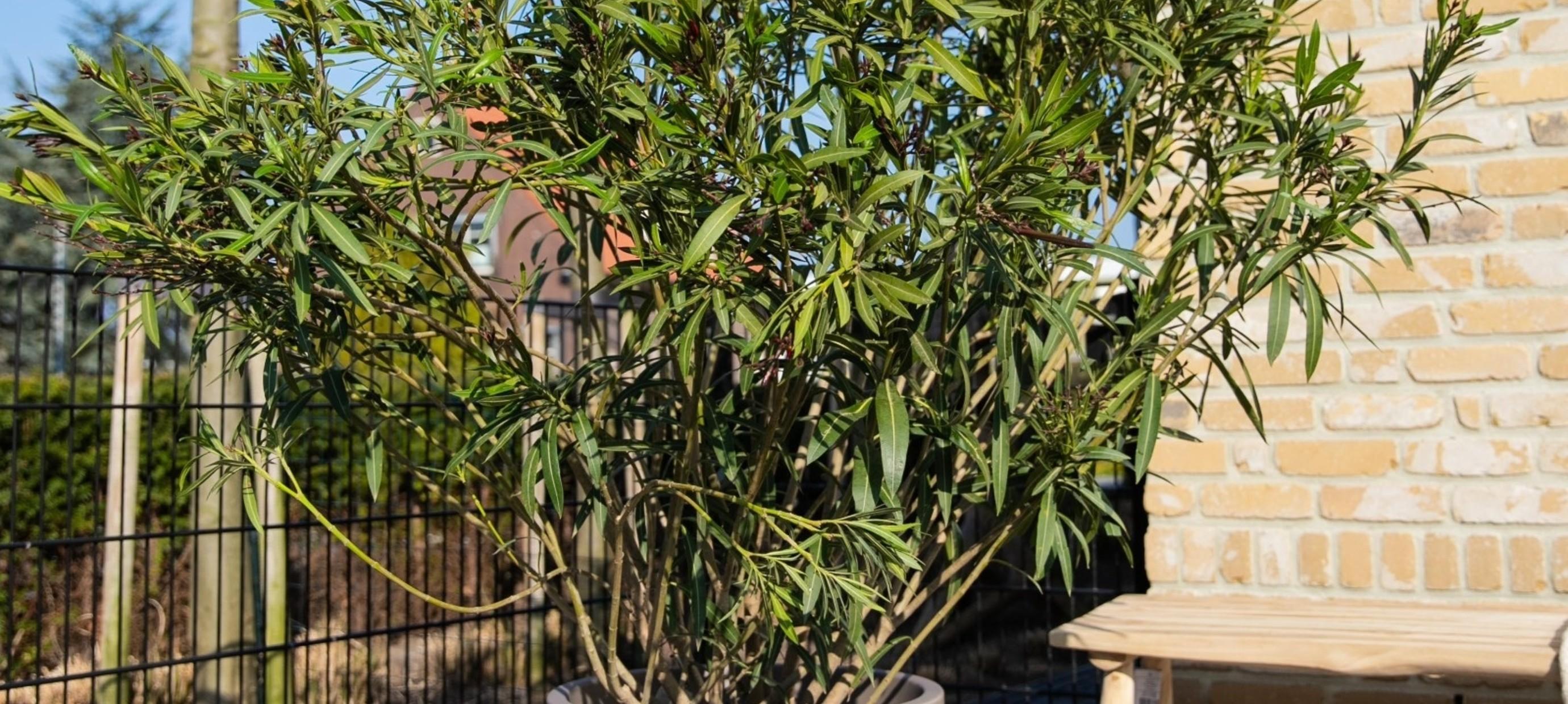 Hoe stek ik mijn Oleander?
