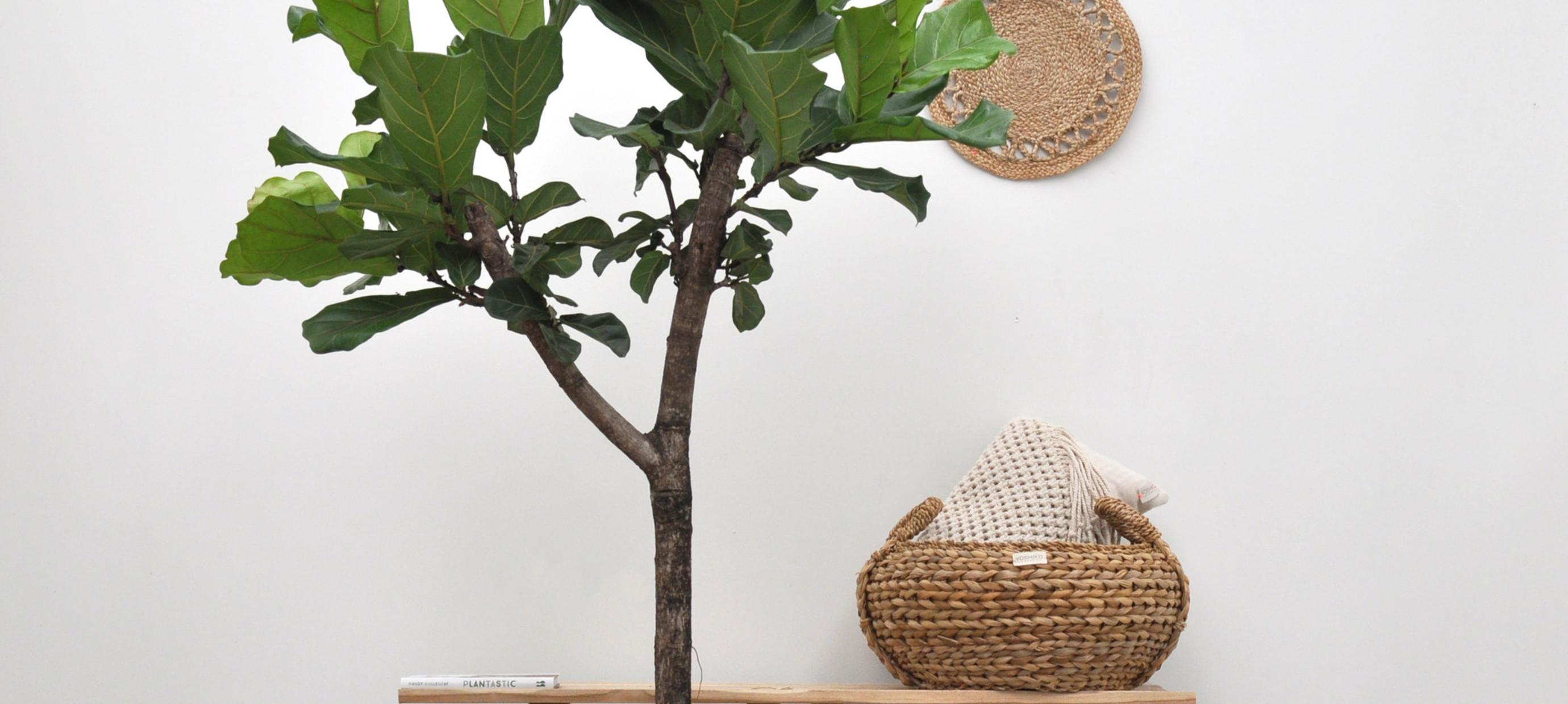 Hoe stek ik mijn Ficus
