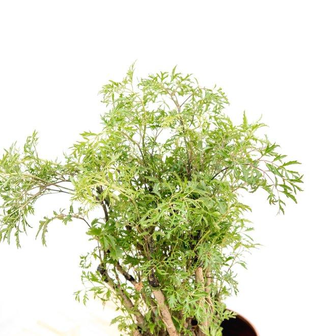 Polysicas Hawaiiana Ming - 100cm