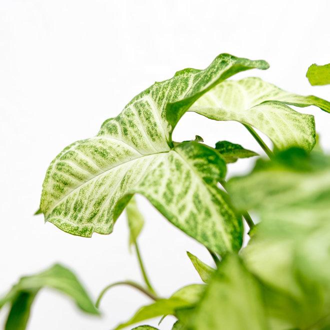 Syngonium White Butterfly Feel Green -30cm