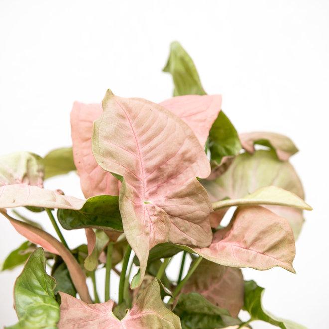 Syngonium Red Heart Feel Green - 30cm
