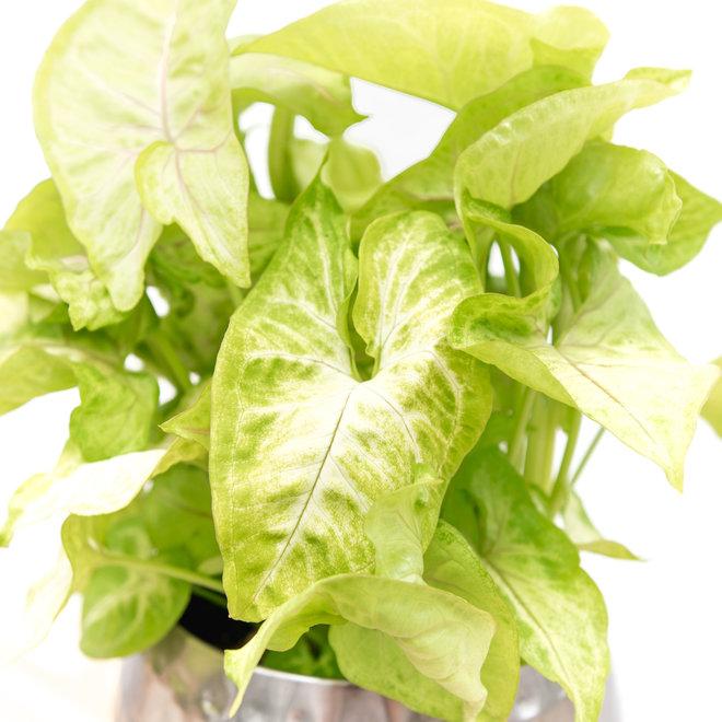 Syngonium Golden Feel Green - 30cm