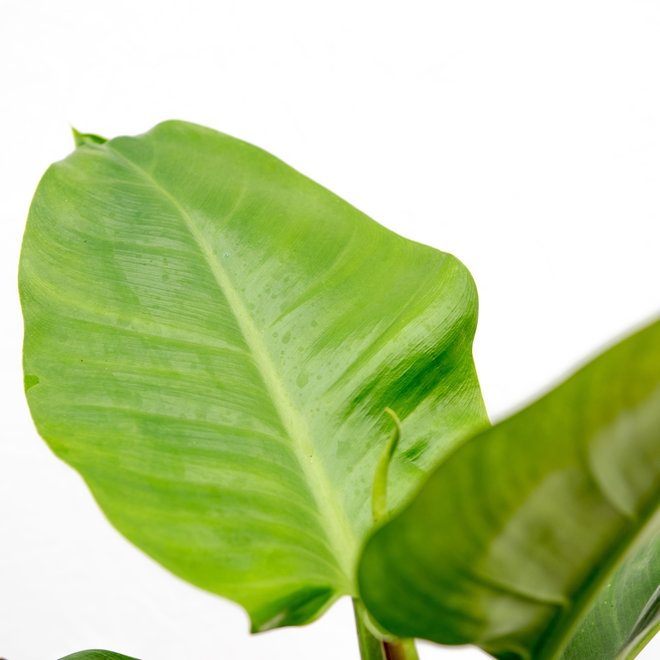 Philodendron Imperial Green - 40cm