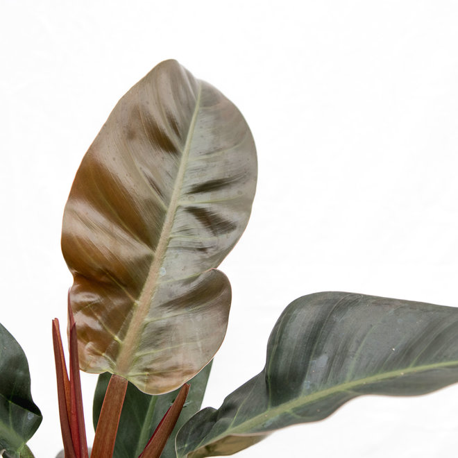 Philodendron Imperial Red - 40cm