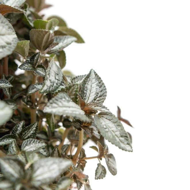 Pilea Silvertree - 30cm