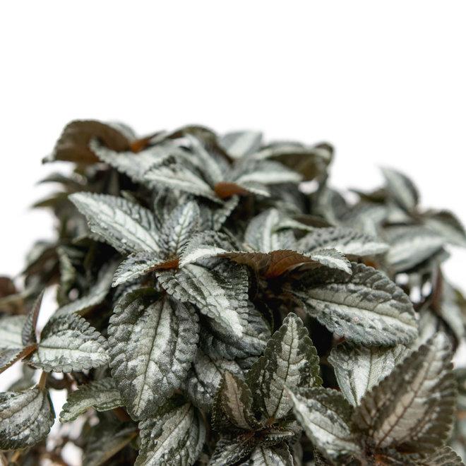 Pillea Silver Tree - 30cm