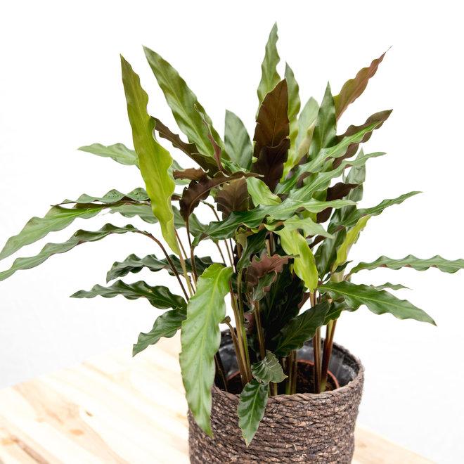 Calathea Elgergrass - 35cm