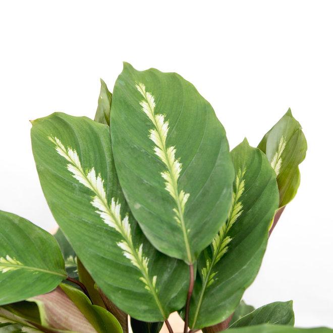 Calathea Maui Queen - 35cm